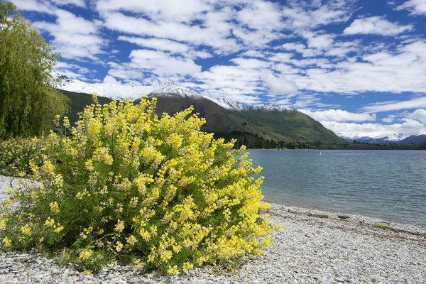 Tree lupin (Lupinus arboreus) flowering on the shore of Lake Wanaka. An introduced plant, it is a nitrogen fixer that by changing the soil chemistry lets other exotic species establish themselves to the detriment of native species