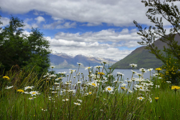 View with wildflowers from the Sunshine Bay walking track through native bush following the shore of Lake Wakatipu near Gilly's Point, near Queenstown, Otago, South Island, New Zealand