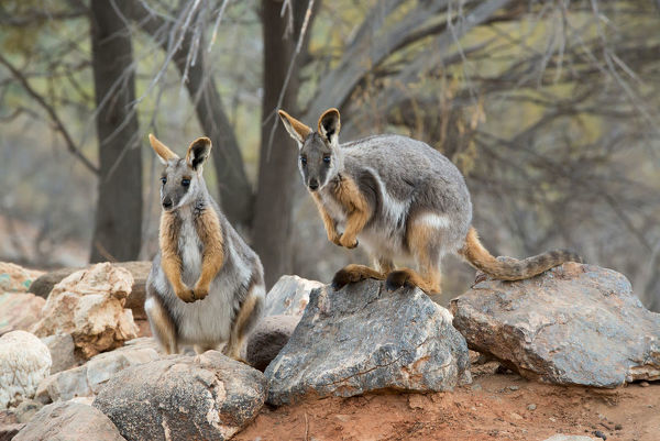 Yellow-footed rock-wallaby pair, Flinders Ranges South Australia