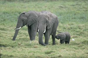 photographer galleries/nature production collection/african elephants loxodonta africana