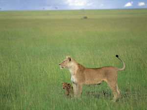photographer galleries/nature production collection/african lion panthera leo