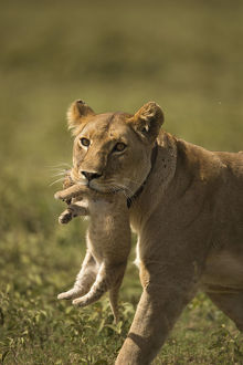 photographer galleries/joe mcdonald/african lion panthera leo