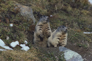 photographer galleries/nature production collection/alpine marmots marmota marmota