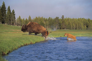 photographer galleries/nature production collection/american bison bison bison