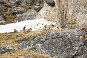 photographer galleries/mary ann mcdonald/arctic fox vulpes lagopus