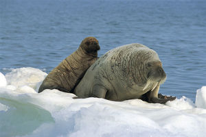 photographer galleries/nature production collection/atlantic walrus odobenus rosmarus rosmarus