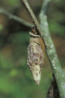photographer galleries/nature production collection/bagworm moth eumeta japonica