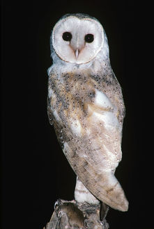 photographer galleries/roger brown/barn owl tyto alba