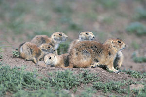 photographer galleries/nature production collection/black tailed prairie dogs cynomys ludovicianus