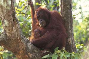 photographer galleries/nature production collection/bornean orangutan pongo pygmaeus
