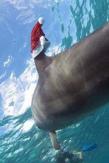 Bottlenose dolphin (Tursiops Truncatus) underwater wearing a Santa hat on its dorsal fin