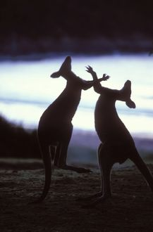 Boxing Eastern Grey Kangaroos (Macropus giantess)