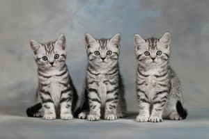British shorthair cats (Felis catus)