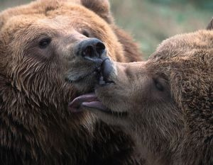 Brown or Grizzly bears (Ursus arctos horribilis)