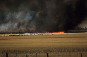 Bushfire in wheat area endangering a flock of sheep, Australia