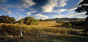 Cathcart Ridge Estate vineyard,