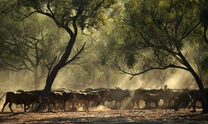 Cattle mustering.