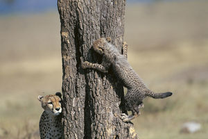 photographer galleries/nature production collection/cheetah acinonyx jubatus