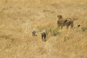 photographer galleries/mary ann mcdonald/cheetah acinonyx jubatus