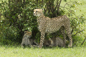 photographer galleries/joe mcdonald/cheetah acinonyx jubatus female cubs shade