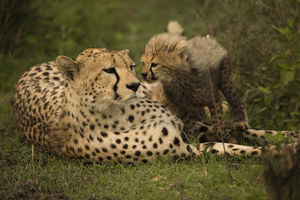 photographer galleries/joe mcdonald/cheetah acinonyx jubatus female resting young