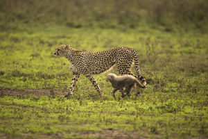 photographer galleries/joe mcdonald/cheetah acinonyx jubatus female walking young