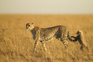 photographer galleries/joe mcdonald/cheetah acinonyx jubatus female young playing