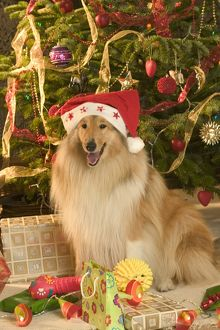 Collie sitting beneath Christmas tree (Canis familiaris)