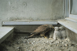 photographer galleries/nature production collection/common kestrel falco tinnunculus
