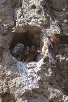 photographer galleries/nature production collection/common kestrel falco tinnunculus female chicks