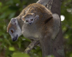 photographer galleries/nature production collection/crowned lemur eulemur coronatus