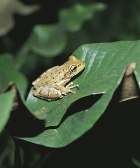 photographer galleries/nature production collection/cuban tree frog osteopilus septentrionalis