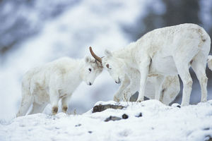 photographer galleries/nature production collection/dall sheep ovis dalli