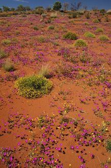 Desert in bloom,