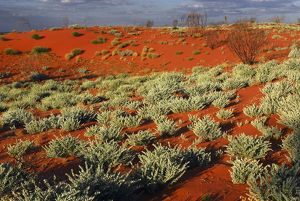 Desert vegetation along the Canning Stock Route