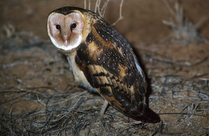 photographer galleries/roger brown/eastern grass owl tyto longimembris