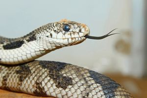 Eastern pine snake (Pituophis melanoleucus)