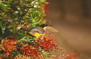 photographer galleries/roger brown/eastern spinebill acanthorhynchus tenuirostris