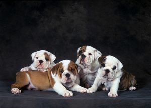 English bulldog (Canis familiaris)