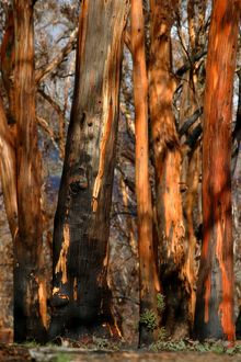 Detail of eucalypt trunks after bushfire,