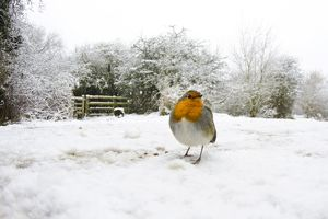 European robin (Erithacus rubecula), male standing in snow-covered park