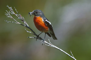 photographer galleries/roger brown/flame robin petroica phoenicea