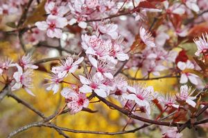 Flowering cherry (Prunus sp.)