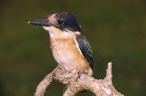 photographer galleries/roger brown/forest kingfisher todiramphus macleayii