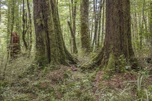 Forest of Red beech and Black beech (Fuscospora fusca and Fuscos