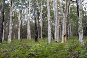 Forest of Spotted gum (Corymbia maculata)