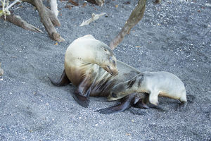 photographer galleries/mary ann mcdonald/galapagos sea lion zalophus wollebaeki
