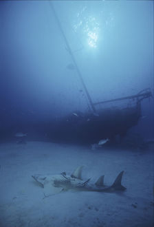photographer galleries/mark spencer/giant shovelnose ray glaucostegus typus