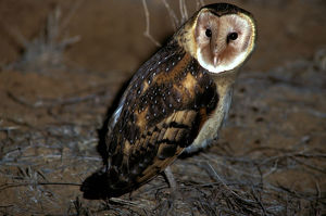 photographer galleries/roger brown/grass owl tyto longimembris