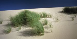 Grasses planted on sand dunes